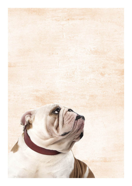 Bulldog with brown collar on beige background