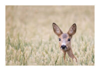 Roe deer head with big ears look towards the camera from Swedish field with wheat or rye