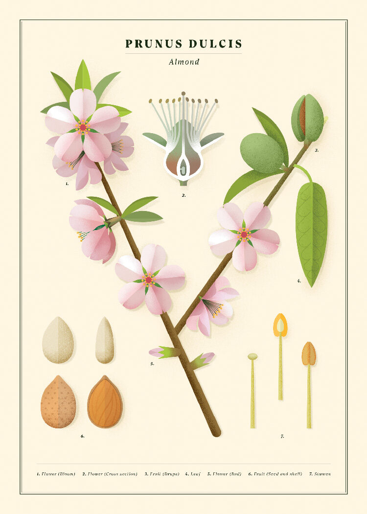 Botanical poster with Almond. Flowers, leaves, fruits, seeds, pistil and leaves.