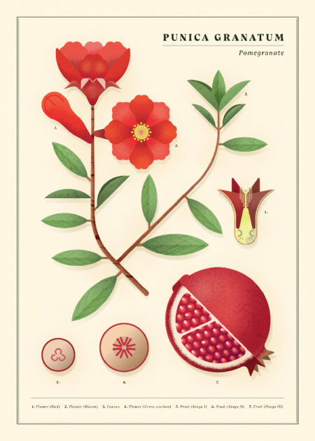 Botanical poster with Pomegranate fruit, leaves, branches, seeds, flowers, pistil and stigma