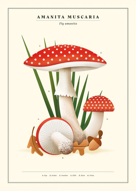 Fly agaric (Amanita muscaria) poster by Nature Press